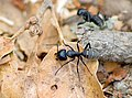 Кампонотус (муравей-древоточец) - Camponotus - Carpenter ant - Rossameisen (29288067785).jpg