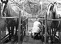 Кобылы доятся в доильном станке ДДА-2.jpg