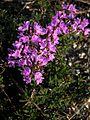 Крейдяні відслонення Thymus calcareus.jpg