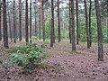 Мальовничий ліс навколо озера Світязь.jpg