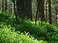 Нижний ярус леса - panoramio.jpg