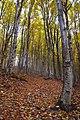 Осінь в верхній межі букового лісу.jpg