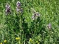 Растения, растущие на склоне горы Шелудивой.jpg