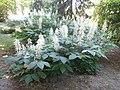 Ситноцветни дивљи кестен, Ботаничка башта Јевремовац, 03.JPG