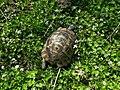 Средиземноморская черепаха - Testudo graeca - Greek tortoise - Шипобедрена костенурка - Maurische Landschildkröte (33174024744).jpg