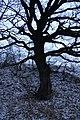 Столетний дуб у Катюшиной криницы - Заказник Нагольный кряж.jpg
