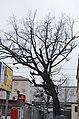 Шулявський дуб по вулиці Індустріальній.jpg