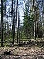 Ялинове угрупування (Picea abies) в заказнику Михайловичі.jpg