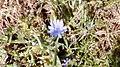 פרח כחול א.jpg