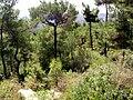صنوبر بروتي في غابات كسب.JPG