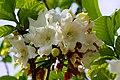 หิรัญญิการ์ Beaumontia grandiflora Wall. FAMILY APOCYNACEAE (9).jpg