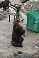 のぼりべつクマ牧場13 Noboribetsu bear park.jpg