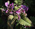 シオガマギク Pedicularis resupinata subsp. oppositifolia 0s3.JPG