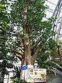 南山植物园-温室-菩提树 - panoramio.jpg