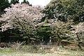 多度神社の桜 - panoramio.jpg