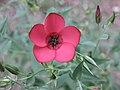 大花亞麻 Linum grandiflorum Rubrum -牛津大學植物園 Oxford Botanic Garden- (9207618762).jpg