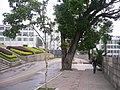 屏南县政府门前的百年古树 - panoramio.jpg