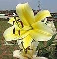東方喇叭雜交百合 Lilium Catina -廣州冠勝農業公園 Guangzhou, China- (30349599247).jpg