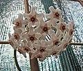 毬蘭屬 Hoya meredithii -波蘭 Krakow Jagiellonian University Botanic Garden, Poland- (36375333290).jpg