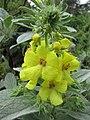 灌狀毛蕊花 Verbascum dumulosum -比利時 Ghent University Botanical Garden, Belgium- (9213324669).jpg