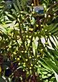 袖珍椰子 Collinia elegans -香港動植物公園 Hong Kong Botanical Garden- (9219891003).jpg