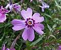 針葉天藍繡球 Phlox subulata 'Marjorie' -比利時國家植物園 Belgium National Botanic Garden- (35784446302).jpg