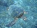 003 (2) - tartaruga marinha.jpg