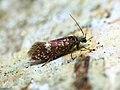02.008 BF12 Eriocrania sangii, female (8682965089).jpg