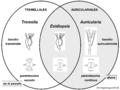 03 02 27 clasificación de Auriculariales y Tremellales, Basidiomycota (M. Piepenbring).png