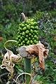0647 Δρακοντιά (Arum Maculatum) στην ακτή των Αστερουσίων.jpg