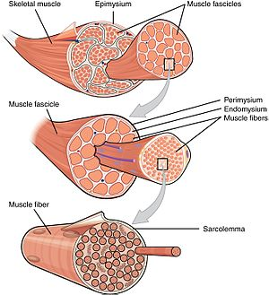 muscle - wikipedia, Muscles