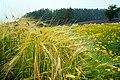 140726 Farm Tomita Nakafurano Hokkaido Japan02n.jpg