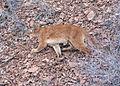 1441 cougar wolfer odfw (14610353388).jpg