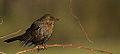 1st Winter Female Blackbird (11605687615).jpg