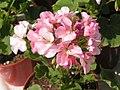 2010. Выставка цветов в Донецке на день города 35.jpg