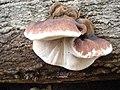2011-10-16 Ischnoderma resinosum (Schrad.) P. Karst 178768.jpg