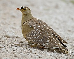 2012-double-banded-sandgrouse.jpg