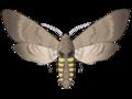201204 Tobacco hornworm.png