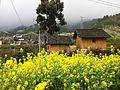2012 韶关 乐昌 茶料村 油菜花 - panoramio.jpg