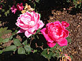 2014-08-29 14 37 56 Roses along U.S. Route 206 in Springfield Township, New Jersey.JPG