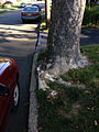 2014-08-30 08 31 32 Base of an American Sycamore along Terrace Boulevard near Durham Avenue in Ewing, New Jersey.JPG
