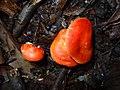 2015-04-05 Leucopaxillus gracillimus Singer & A.H. Sm 515491.jpg