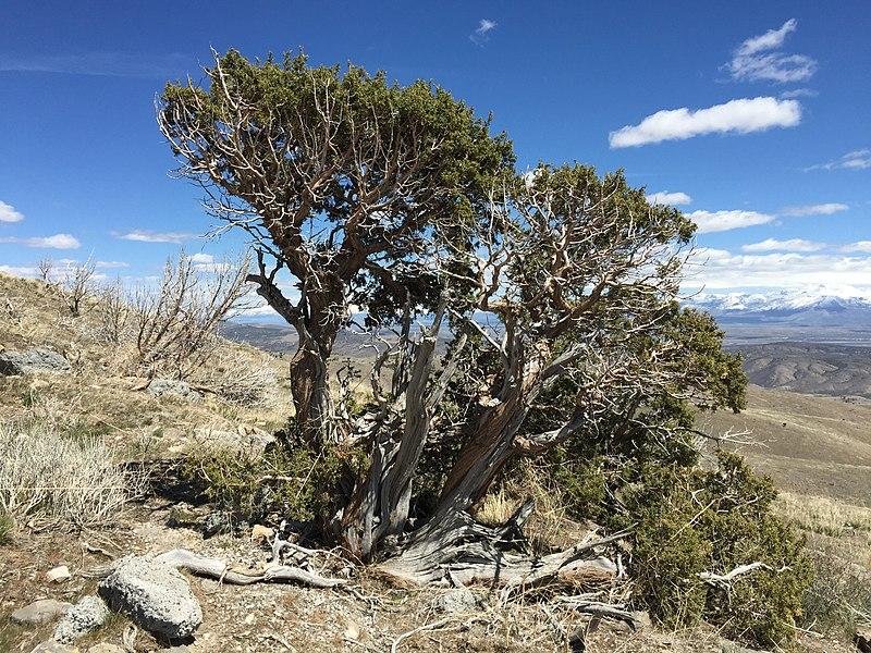 File:2015-04-26 13 22 20 An old Utah Juniper at about 6830 feet along the road to the summit of Grindstone Mountain, Nevada.jpg