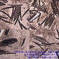 2016-02-05 Geoglossum geesterani S. Arauzo & A. Lebre 597436.jpg