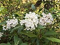 2017-05-17 17 39 51 Mountain Laurel blossoms near Forge Creek and Forge Creek Road in Great Smoky Mountains National Park, within Blount County, Tennessee.jpg