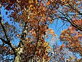 2017-11-23 13 12 30 View up into the canopy of several trees during late autumn along Stone Heather Drive near Stone Heather Court in the Chantilly Highlands section of Oak Hill, Fairfax County, Virginia.jpg