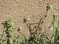 20170412Arenaria serpyllifolia3.jpg