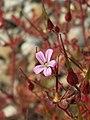 20170621Geranium robertianum2.jpg