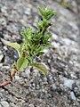 20170723Amaranthus albus3.jpg