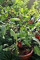 20171014 - Solanum uporo Dunal - whole plant.jpg